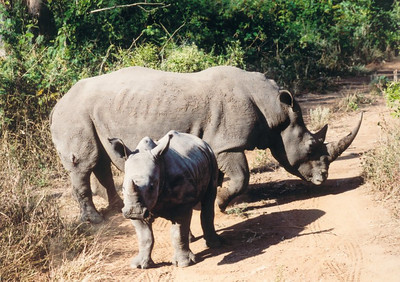 Monitored rhino mother and calf