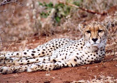 Monitored cheetah