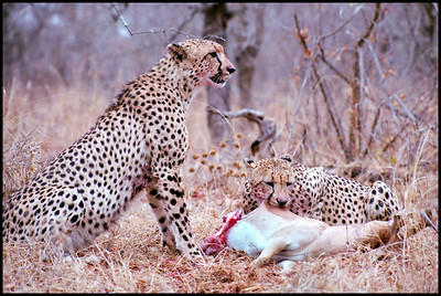 Monitored cheetah brothers feeding