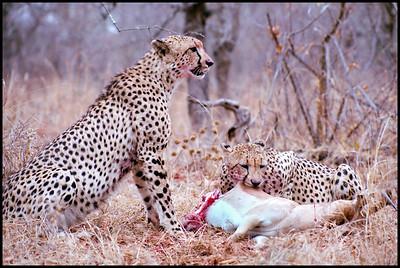 Monitored cheetah brothers feeding