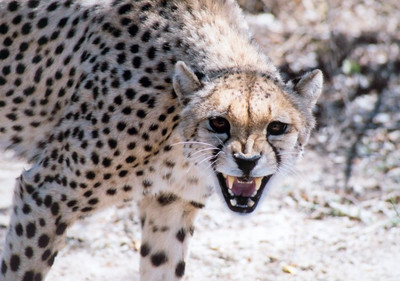 Monitored cheetah during darting