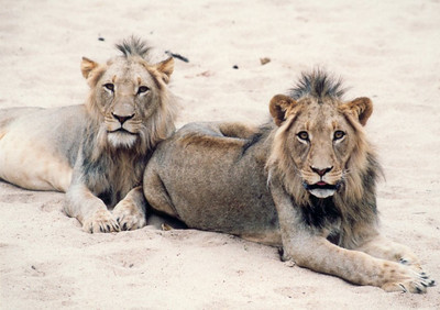 Monitored sub-adult lions