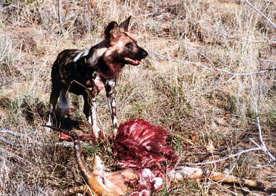 Monitored wild dog feeding