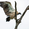 African Whitebacked Vulture