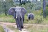 Elephant Charge - 2014