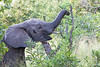 Elephant breaking off branch to eat - 2014