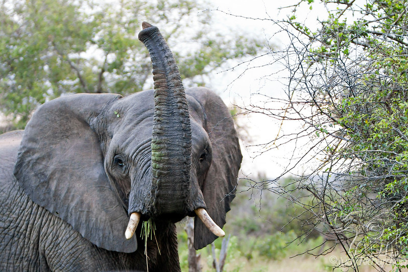 Elephant checking us out - 2014