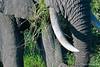 Elephant tusk - eating grass - 2014