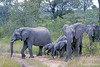 Various ages of elephants at Elephant Plains - 2014