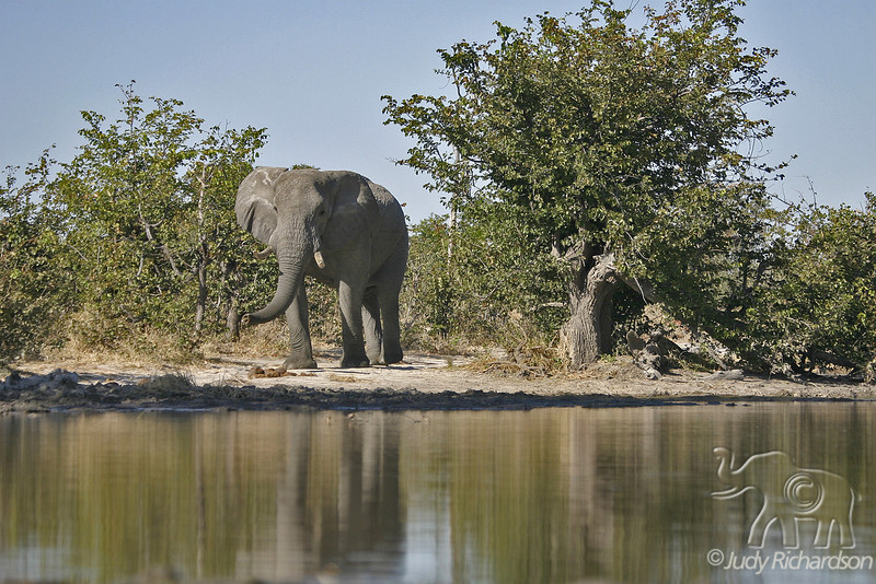 Elephant warily approaches pond