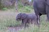 Elephant calf - 2014
