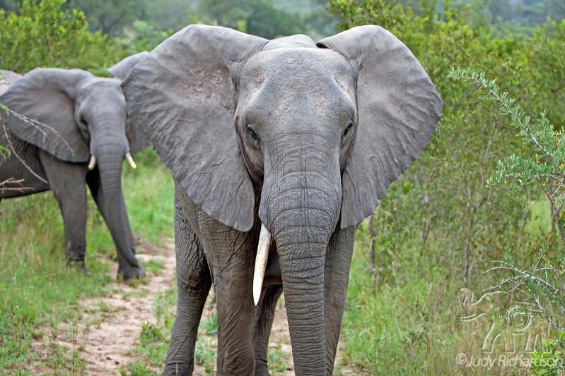 Elephant Charge ~ one tusk - 2014