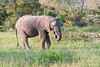 Elephant - 2014