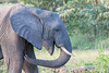 Elephant trunk - 2014