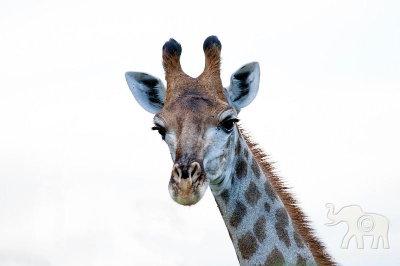 Giraffe - 2014