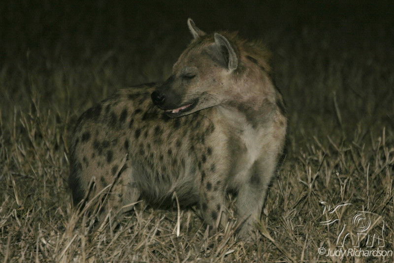 Hyaena at Duma Tau Camp, Botswana, Africa