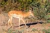Male Impala at Flatdogs, Zambia