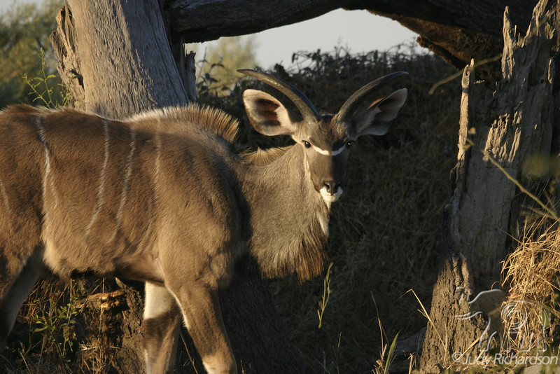 Male Kudu at sunrise in Duba Plains, Botswana, Africa