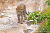 Leopard walking down muddy road