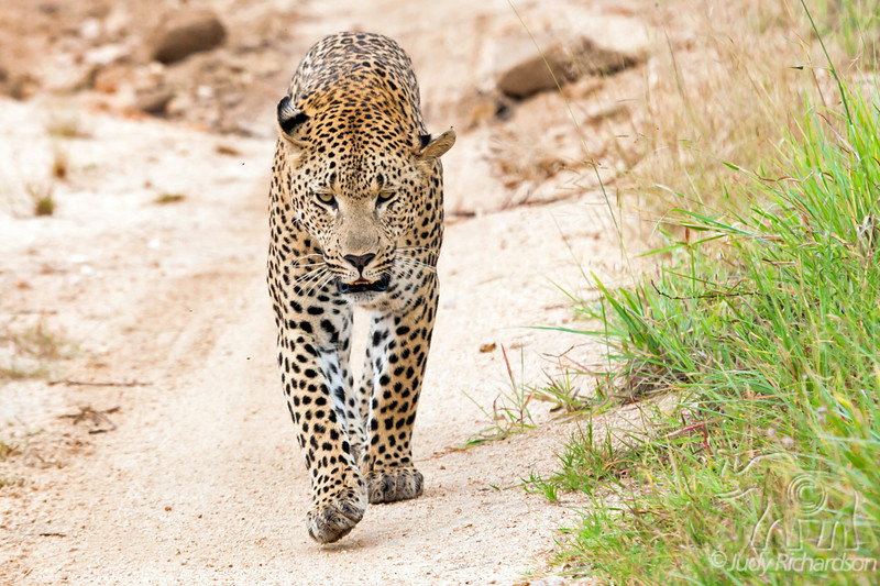 Leopard walking toward our vehicle at Little Bush Camp ~ Sabi Sands Game Reserve near Kruger National Park.