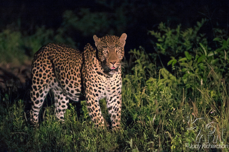 Male leopard at night