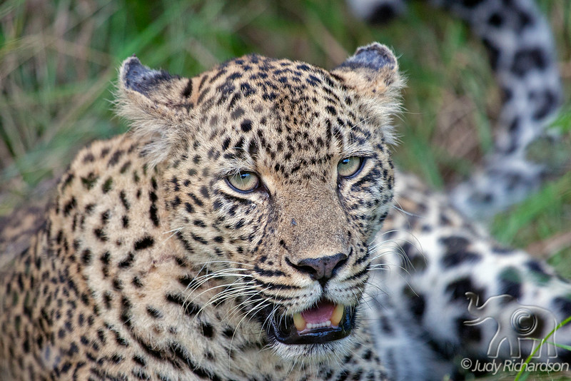 Leopard at Sabi Sand Game Reserve, adjacent to the Kruger National Park ~ Elephant Plains Game Lodge