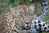 Leopard at Sabi Sand Game Reserve, adjacent to the Kruger National Park ~ Elephant Plains Game Lodge