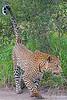 Leopard marking territory