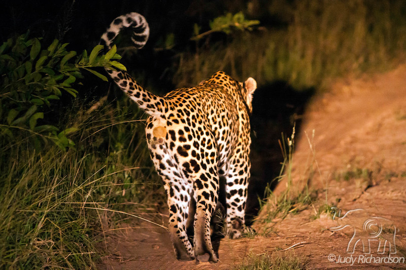 Male leopard marking territory at night