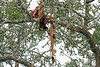 Prey from Leopard stored high in tree ~ Little Bush Camp ~ Sabi Sands Game Reserve near Kruger National Park.