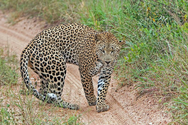 Leopard turning around toward our vehicle at Little Bush Camp ~ Sabi Sands Game Reserve near Kruger National Park.