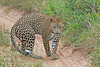 Leopard turning around toward our vehicle at Little Bush Camp ~ Sabi Sands Game Reserve near Kruger National Park.