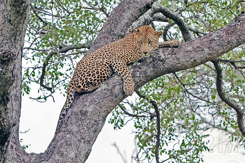 Leopard resting in tree at Little Bush Camp ~ Sabi Sands Game Reserve near Kruger National Park.