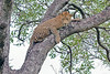 Leopard resting in tree at Little Bush Camp ~ Sabi Sands Game Reserve near Kruger National Park.