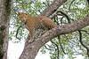 Leopard stalking prey from high tree vantage point ~ Little Bush Camp ~ Sabi Sands Game Reserve near Kruger National Park.