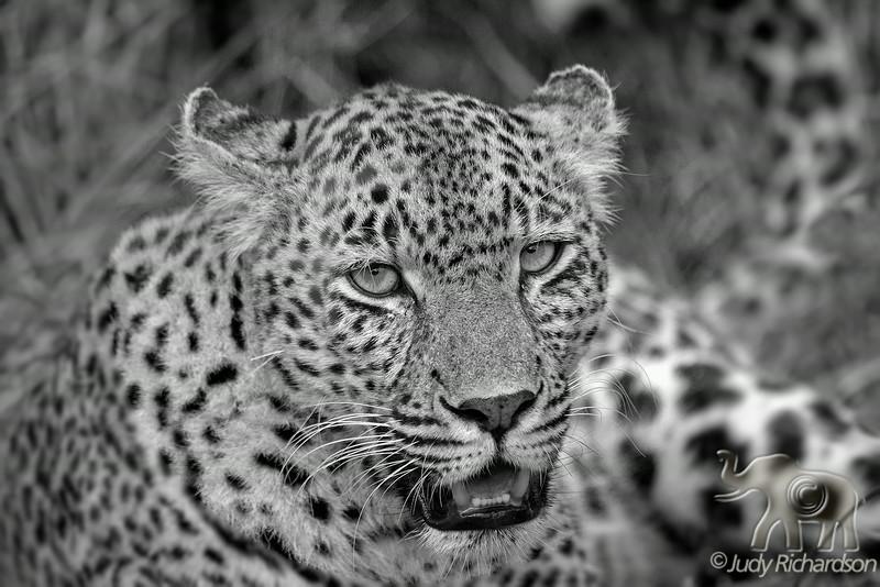 Leopard in B&W at Sabi Sand Game Reserve, adjacent to the Kruger National Park ~ Elephant Plains Game Lodge