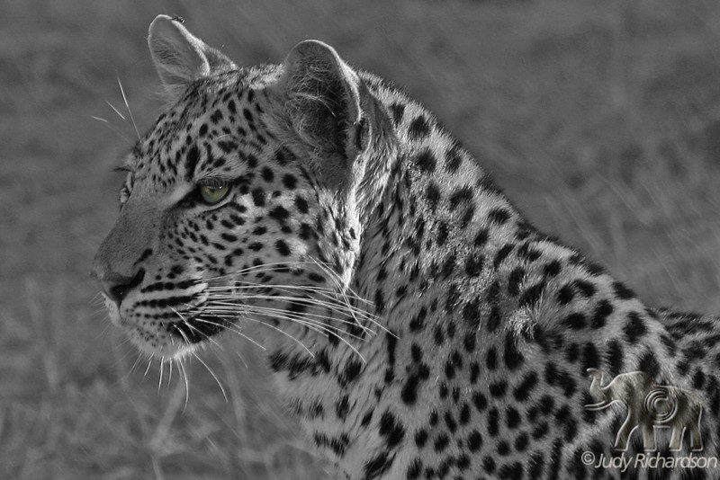 Eye of the Leopard ~ Black and white