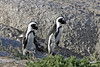 Two South African Penguins strolling on the rocks