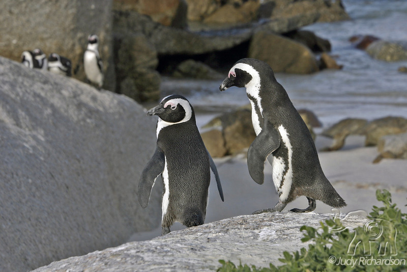 Penguins taking a stroll on the rocks