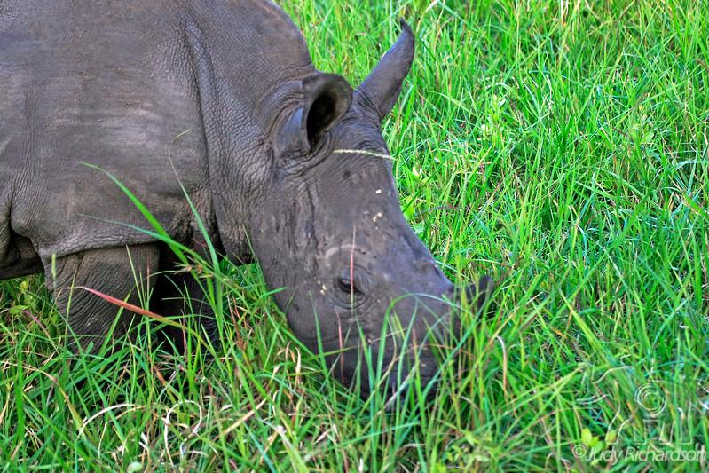 White rhinoceros calf next to safari vehicle