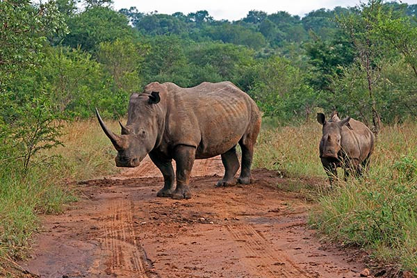 White rhinoceros and calf approaching safari vehicle before laying down!