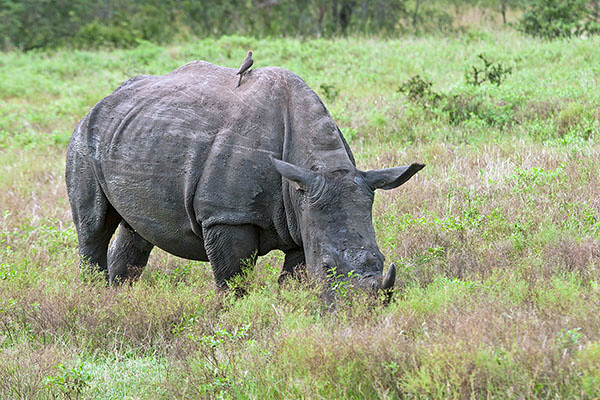 White rhinoceros calf