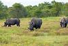White rhinoceros herd