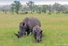 White Rhinoceros and calf