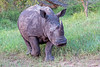 White rhinoceros calf approaching safari vehicle