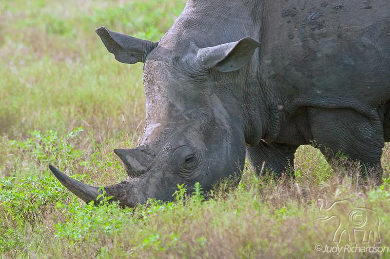White rhinoceros close-up