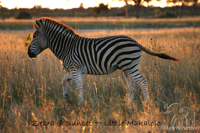 Zebra at Sunset at Little Makalolo, Zimbabwe, Africa