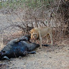 Lion over kill. South Luangwa National Park, Zambia