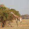 Giraffe. The species in this region is smaller than their cousins on the Savannahs up north. South Luangwa National Park, Zambia