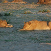 Lazy Lions--This is what they mostly do all day. South Luangwa National Park, Zambia